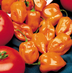 Habanero Hot Pepper Recipe